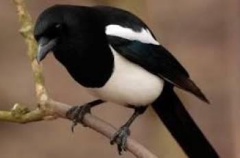 Hello Mr Magpie