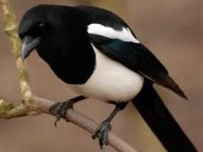 Hello Mr Magpie